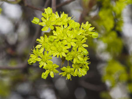 backlite: Blooming Norway Maple, Acer platanoides, flowers with blurred background macro, selective focus, shallow DOF Stock Photo