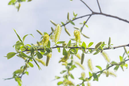 salix: Brittle willow, Salix fragilis, blossom in spring with bokeh background, selective focus, shallow DOF
