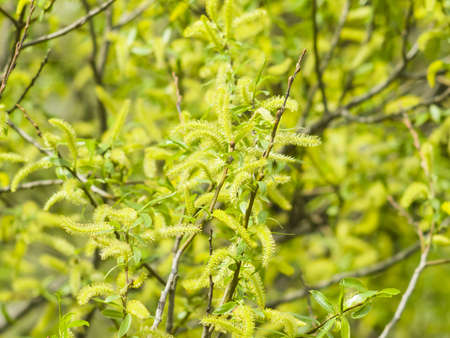 salix fragilis: Brittle willow, Salix fragilis, blossom in spring with bokeh background, selective focus, shallow DOF
