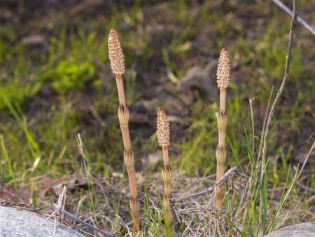 equisetum: Field or common horsetail, Equisetum arvense, macro with bokeh background, selective focus, shallow DOF Stock Photo