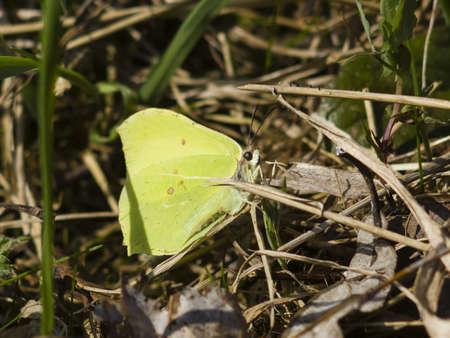 gonepteryx: Common Brimstone, Gonepteryx rhamni, butterfly hiding in dry grass macro, selective focus, shallow DOF