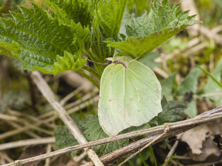 rhamni: Common Brimstone, Gonepteryx rhamni, butterfly hiding under leaves macro, selective focus, shallow DOF