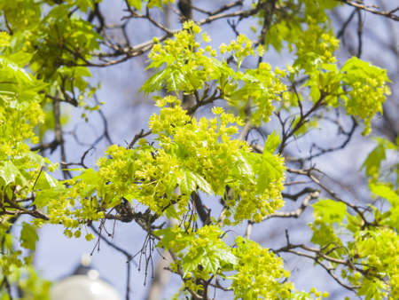Blooming Norway Maple, Acer platanoides, flowers with blurred background macro, selective focus, shallow DOF Stock Photo