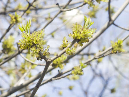 excelsior: Flowers Common Ash, Fraxinus, excelsior, on branch with bokeh background macro, selective focus, shallow DOF