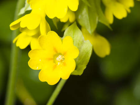 primula veris: Primrose cowslip, Primula veris, flowers on bokeh background, macro, selective focus, shallow DOF