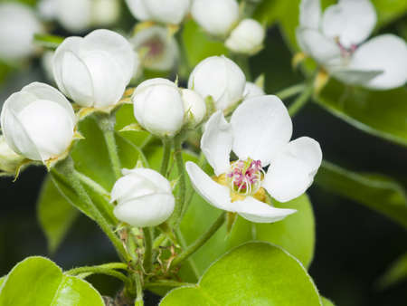 pyrus: Flowers of Pear Tree, Pyrus communis, with leaves, close-up on bokeh background, selective focus, shallow DOF Stock Photo