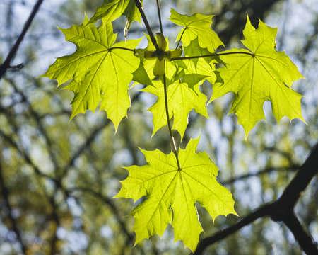 Blätter von Norwegen-Ahornbaum im Morgensonnenlicht, selektiver Fokus, flacher DOF Standard-Bild - 56284409