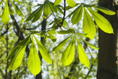 chestnut tree: Leaves of horse chestnut tree in morning sunlight, selective focus, shallow DOF