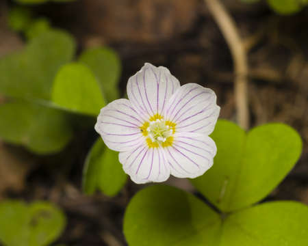 oxalidaceae: Common Wood Sorrel, Oxalis acetosella, flowers macro with leaves defocused, selective focus, shallow DOF