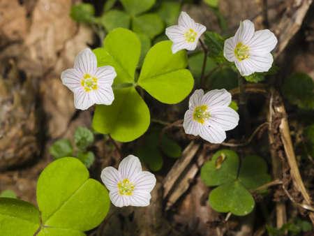 oxalis: Common Wood Sorrel, Oxalis acetosella, flowers macro with leaves defocused, selective focus, shallow DOF