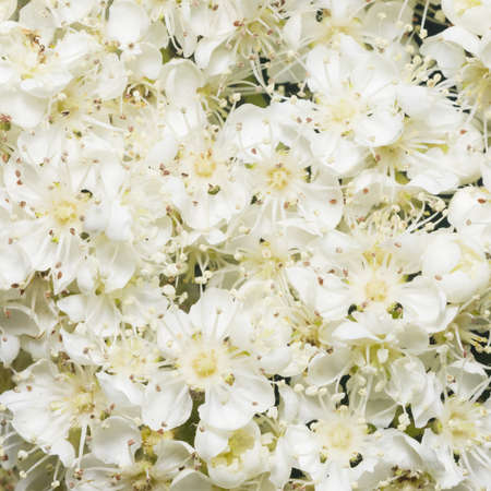 aucuparia: White flowers of blossoming rowan tree, sorbus aucuparia, close-up background, selective focus, shallow DOF