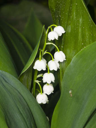 majalis: Blooming Lily-of-the-valley, Convallaria majalis, flowers and leaves, macro, selective focus, shallow DOF