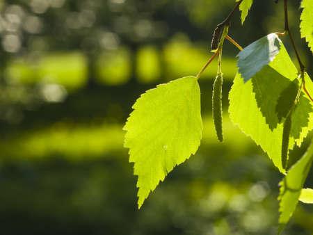 betula pendula: Leaves of Silver birch, Betula pendula, tree in morning sunlight, selective focus, shallow DOF Stock Photo