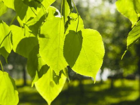 tilia: Leaves of Common Lime, Tilia Europeaea, tree in morning sunlight, selective focus, shallow DOF