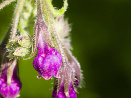 Flowers on Common Comfrey, Symphytum officinale, with bokeh background macro, selective focus, shallow DOF