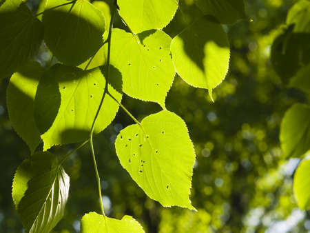 tilia cordata: Leaves of Common Lime, Tilia Europeaea, tree in morning sunlight, selective focus, shallow DOF