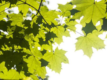norway maple: Leaves of norway maple tree in morning sunlight, selective focus, shallow DOF