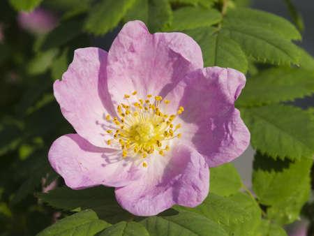 globule: Blooming wild rose flower macro, shallow DOF, selective focus