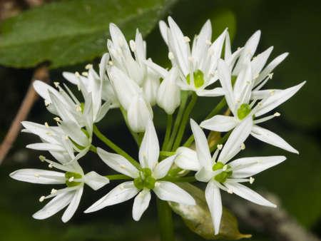 alliaceae: Blooming Wild Garlic, Allium ursinum, flowers in weed close-up, selective focus, shallow DOF
