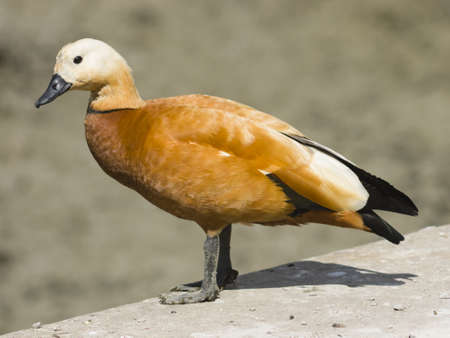 droll: Male of ruddy shelduck on concrete border of dry pond, portrait with bokeh background, selective focus