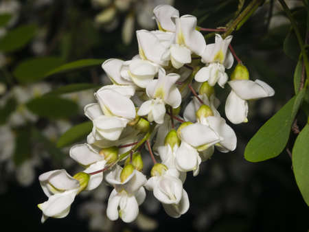 faboideae: Black Locust, False Acacia, Robinia pseudoacacia, blooming close-up, selective focus, shallow DOF