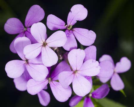 hoary: Hoary Stock, Matthiola incana, flowers, close-up, selective focus, shallow DOF