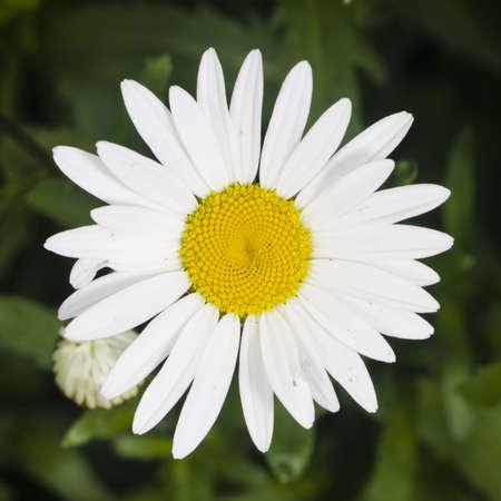 leucanthemum: Oxeye daisy, Leucanthemum vulgare, flower macro with bokeh background, selective focus, shallow DOF