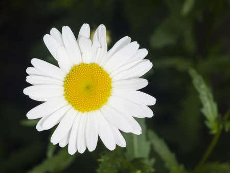 oxeye: Oxeye daisy, Leucanthemum vulgare, flower macro with bokeh background, selective focus, shallow DOF