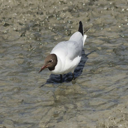 chroicocephalus: Black-headed Gull, Chroicocephalus ridibundus, in wet mud at bottom of dry pond, selective focus, shallow DOF