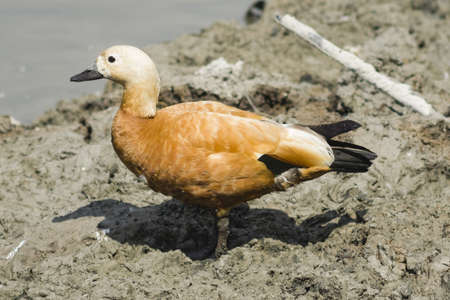 ornitology: Female ruddy shelduck on muddy bottom of dry pond, selective focus