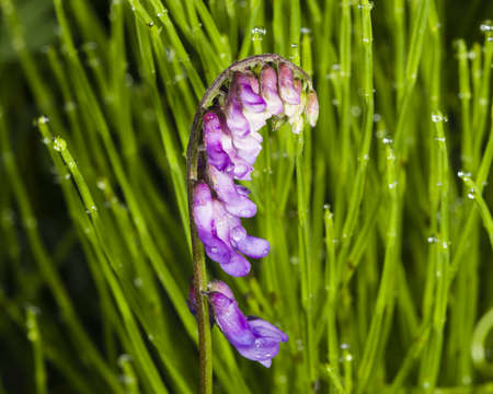 Blue or tufted vetch, vicia cracca, wet flowers on stem in horsetail macro with bokeh background, selective focus, shallow DOF