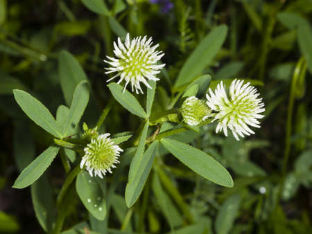 Mountain clover, Trifolium montanum, flowers and leaves, close-up, selective focus, shallow DOF