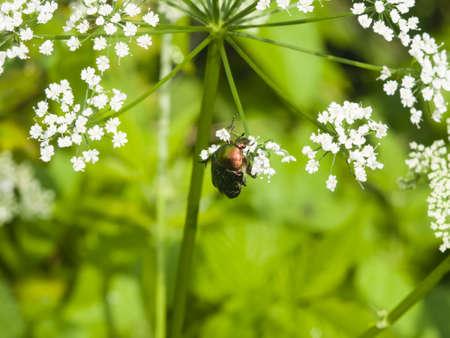 aurata: Green Rose Chafer, Cetonia Aurata, feeding on white flowers of Bishops weed, macro, selective focus, shallow DOF Stock Photo