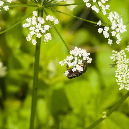 molesto: Verde del abejorro de Rose, Cetonia aurata, alimentándose de flores blancas de la mala hierba del obispo, macro, enfoque selectivo, DOF bajo