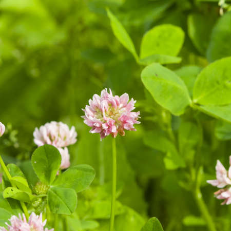 trifolium: Flowers of Red Clover, Trifolium pratense, with bokeh background macro, selective focus, shallow DOF Stock Photo