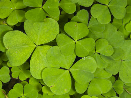 Common Wood Sorrel, Oxalis acetosella, leaves texture macro, selective focus, shallow DOF Stock Photo