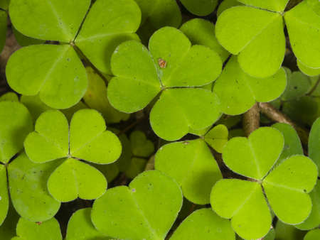 oxalidaceae: Common Wood Sorrel, Oxalis acetosella, leaves texture macro, selective focus, shallow DOF Stock Photo