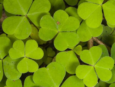 Common Wood Sorrel, Oxalis acetosella, leaves texture macro, selective focus, shallow DOF Stock Photo