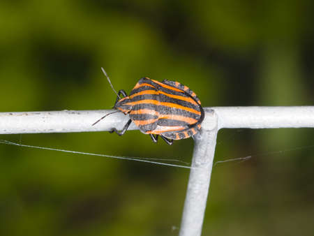 graphosoma: Striped-bug or minstrel bug Graphosoma lineatum on tube fence, macro, selective focus, shallow DOF