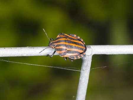 pentatomidae: Striped-bug or minstrel bug Graphosoma lineatum on tube fence, macro, selective focus, shallow DOF