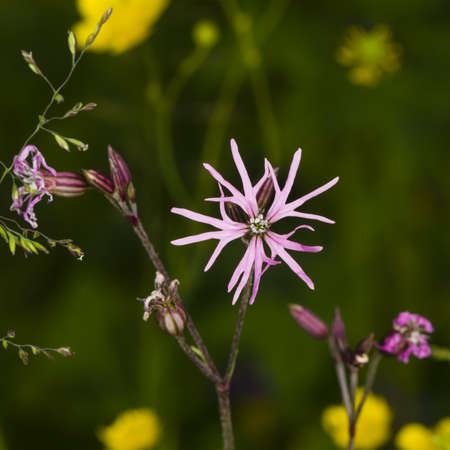 Ragged-Robin, Lychnis flos-cuculi, flower detailed macro on bokeh background, selective focus, shallow DOF