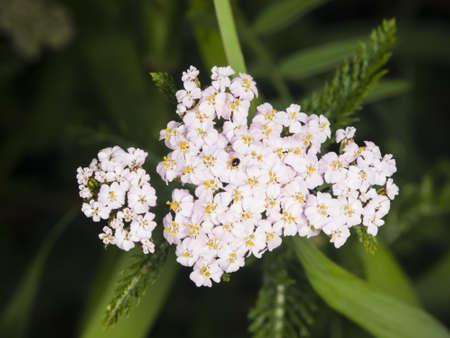 Blooming Common Yarrow, Achillea millefolium, flower cluster with dark bokeh background macro, selective focus, shallow DOF