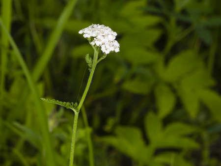 milfoil: Blooming Common Yarrow, Achillea millefolium, with bokeh background macro, selective focus, shallow DOF