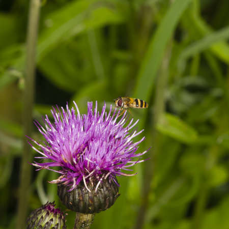 Hoverfly landing on thistle flower with motion-blurred wings macro on bokeh background, selective focus, shallow DOF