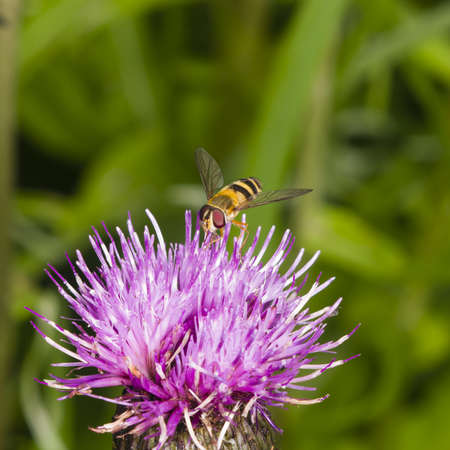 photographies: Hoverfly on thistle flower with bokeh background macro, selective focus, shallow DOF Stock Photo