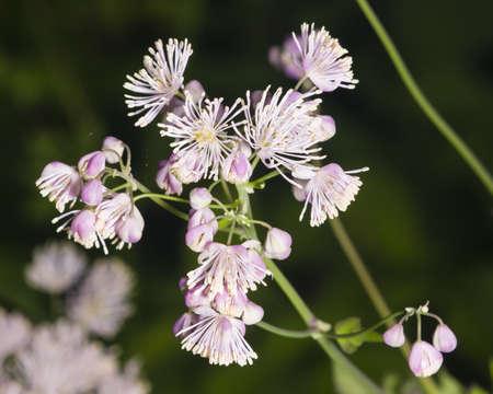 Columbine meadow-rue, Thalictrum aquilegifolium, flowers and buds with bokeh background macro, selective focus, shallow DOF