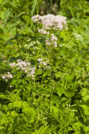 Bloom of Columbine meadow-rue, Thalictrum aquilegifolium, macro, selective focus, shallow DOF