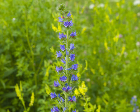 Vipers bugloss or blueweed, Echium vulgare, bloom in wild, close-up, selective focus, shallow DOF Stock Photo