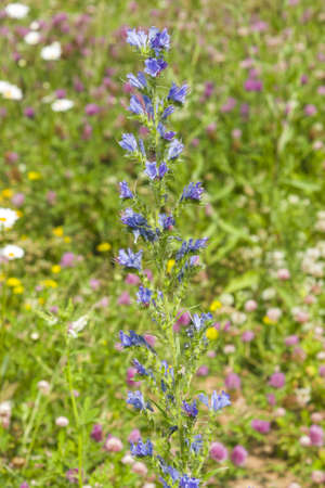 echium: Vipers bugloss or blueweed, Echium vulgare, bloom in wild, close-up, selective focus, shallow DOF Stock Photo