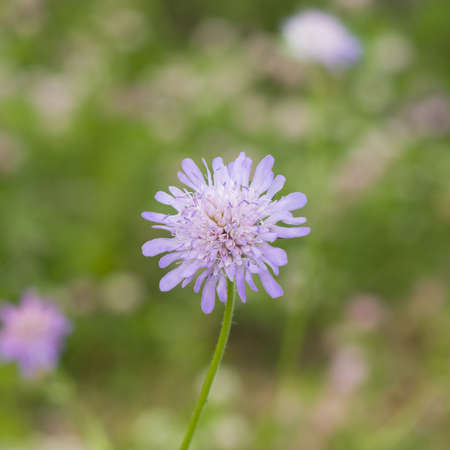 lavender coloured: Flower of Field Scabious, Knautia Arvensis, with dark bokeh background macro, selective focus